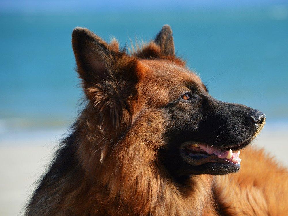 10 Reasons For German Shepherds